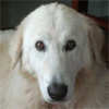this maremma has a domed skull, with very round eyes, large ears and a narrow muzzle - whilst this is certainly a maremma the difference to photos of correct dogs is marked