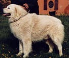 excellent example of an italian mature age maremma that meets all the criteria in the breed standards showing excellent depth of chest and short body
