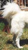 whilst a maremma with a correct tail may at times of agitation or high excitement raise the tail high, this dog cannot lower the tail into the correct position and the curl remains there at all times