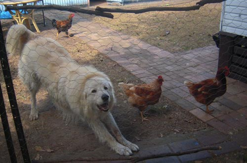 the happy body language of this dog, engaging in a play bow, with chickens all around him shows how effectively the chickens have accepted him as a part of their flock and how happy he is in his new life