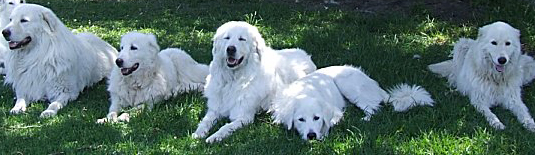 group of very typcial maremma sheepdogs showing good conformation to the breed standard and excllent temperament, it is worth noting that not all the dogs in this photo live together but there is no reason that visiting well behaved dogs can't be welcome with a maremma