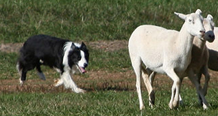 border collie dog in chase stage of the predator behaviour motor pattern. this motor pattern needs to be absent in the livestock guardian dogs