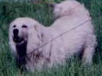 when a maremma is displaying protective barking they often have the head held high and the tail up to increase their size and indicate their seriousness at the situation