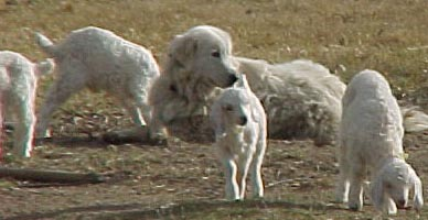 the maremma sheepdog protects his herd of livestock in many ways, simply sitting amongst the herd gives a high degree of protection to the herd as the dog is being very attentive to the livestock